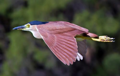 Rufous night herron in Flight V2 by Steve Hatton - Animals Birds ( bird, flight, night herron, herron, rufous night herron, flying bird, rufous night herron in flight, bird in flight )