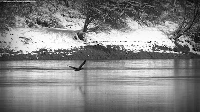 Photo: Dravski kormoran...