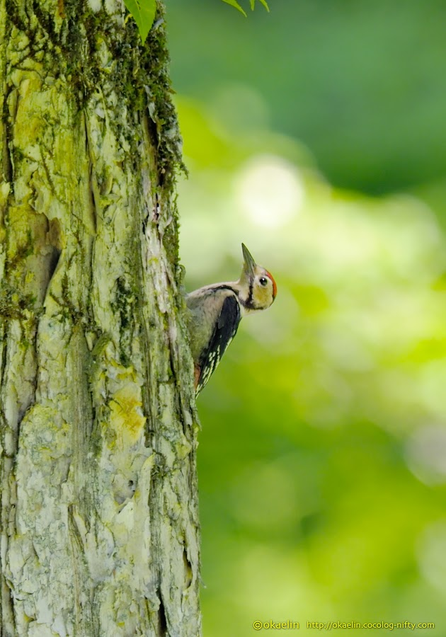 アカゲラ 幼鳥