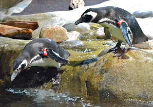 """Photo: 32. Penguins are always fun to observe, especially to watch them """"fly"""" so quickly under water. Go take a swim, little guy."""