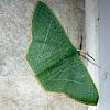 Mast-Tree Emerald