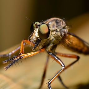 Mr.Robber  by Nazri Ahmad - Animals Insects & Spiders