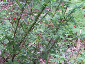 Photo: If du Canada - Taxus canadensis - Ground hemlock  - fruit : arille contenant  graine noire