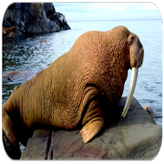 Walrus sounds