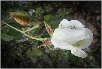 Photo: Trandafir (Rosa) - inviorat de ploaie - de pe Calea Victoriei, zona Bisericii Greco-Catolice - 2017.10.23