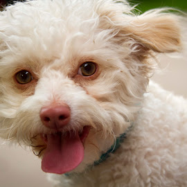 Hello by Scott Thomas - Animals - Dogs Portraits ( white, tongue, animal, dog, cute )