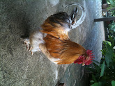 Photo: Rooster at breakfast