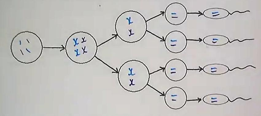 Oogenesis (2).png