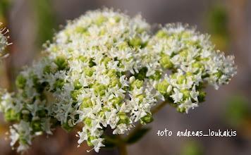 Photo: ΡΙΓΑΝΗ Origanum Onites της οικογένειας Χειλανθή (Labiatae) ΠΙΝΕΣ ΕΛΟΥΝΤΑ Η Ρίγανη είναι ένα πολυετές αρωματικό χόρτο, ευρύτατα διαδεδομένο, σε ξηρότοπους σ' όλη την Ελλάδα. Είναι γνωστό επίσης και με τα ονόματα: ριάνο, ρούανο, ρούβανο κ.ά. Η Ρίγανη είναι ένα φυτό με ρίζες ξαπλωμένες οριζόντια και όρθιο, τετραγωνικό και χνουδωτό βλαστό, που φτάνει ύψος από 0,30-0,80 μ. Τα φύλλα της έχουν αυγοειδή σχήμα, τοποθετημένα αντίθετα και μικρά λευκό-ρόδινα άνθη που βγαίνουν στην κορυφή των βλαστών