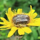 Flower beetle. Escarabajo de las flores