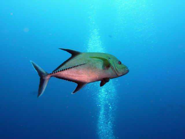 Photo: Carangue à Cocos Island (2010)