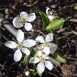White Blossom by Gay Reilly - Novices Only Flowers & Plants ( new, green, white, spring, blossom, branches )