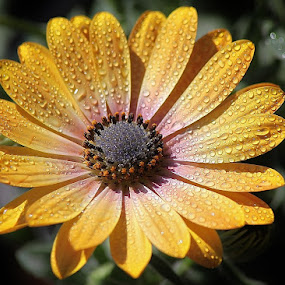 Yellow daisy by Giovanna Pagliai - Flowers Single Flower ( water drops, joy., bright, petals, happiness, yellow )