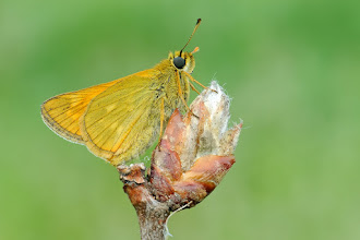 Photo: Ochlodes sylvanus, Sylvaine, Large Skipper  http://lepidoptera-butterflies.blogspot.com/
