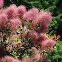 Smoke Tree (Smoke Bush)