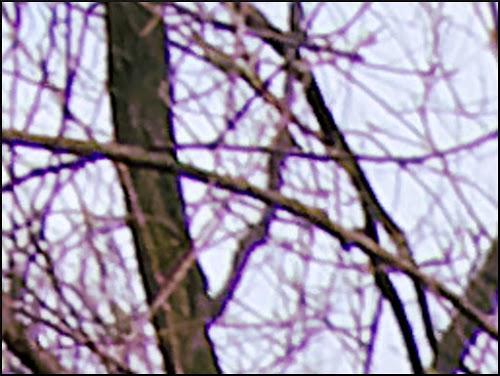 takken aan een boom, randen paars verkleurd
