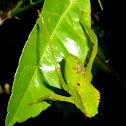 Tettigoniidae
