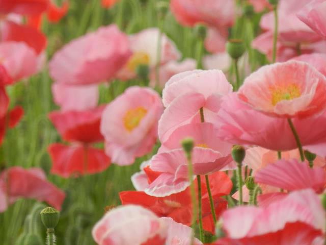 Photo: Poppies