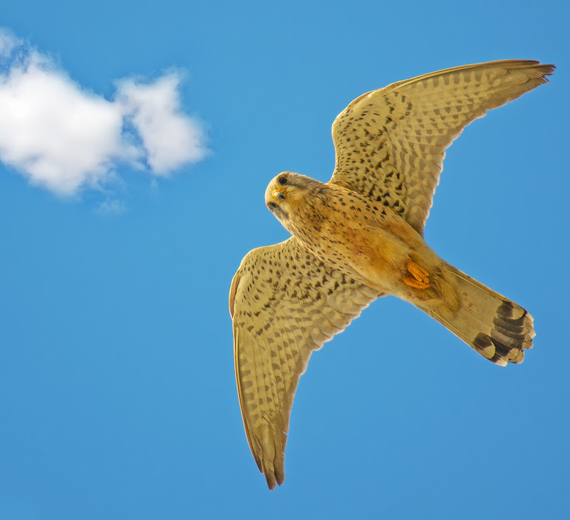 Falco di Gabriele Maltinti