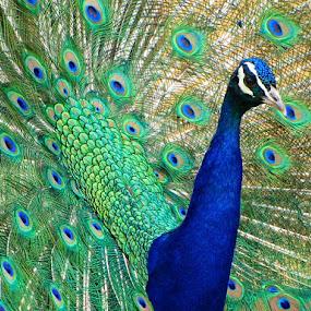 by Marney Dainty - Animals Birds (  )