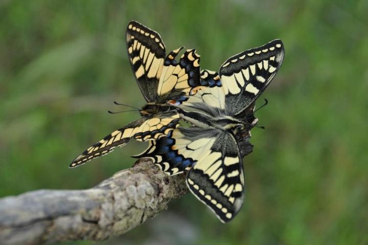 Schmetterling di giuggiolo_26