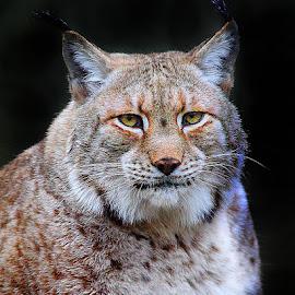 Lynx by Gérard CHATENET - Animals Lions, Tigers & Big Cats
