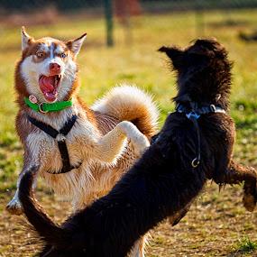 Bring It On by Linda Tiepelman - Animals - Dogs Playing ( stick, caine, park, wentzville, pup, play, mutt, broemmelsiek park, county park, missouri, hound, state park, bark, fur, puppy, pooch, dog, animal )