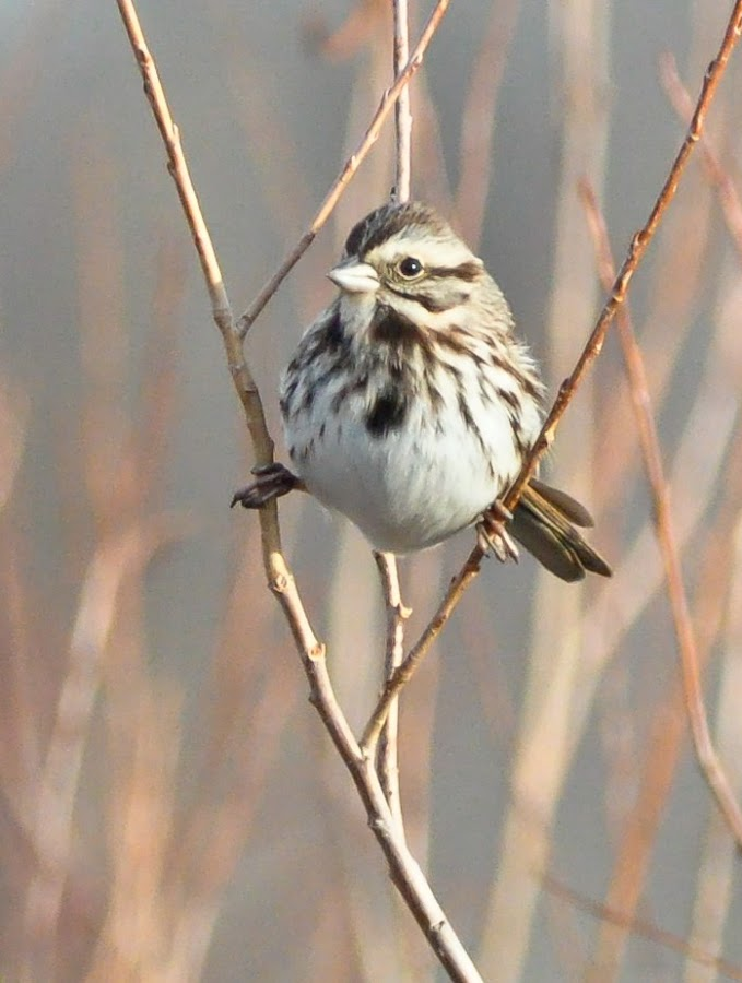 Sparrow Yoga by Jessica Runner - Animals Birds