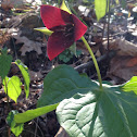 Sweet wake robin - vasey's trillium