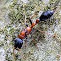 Slender ant