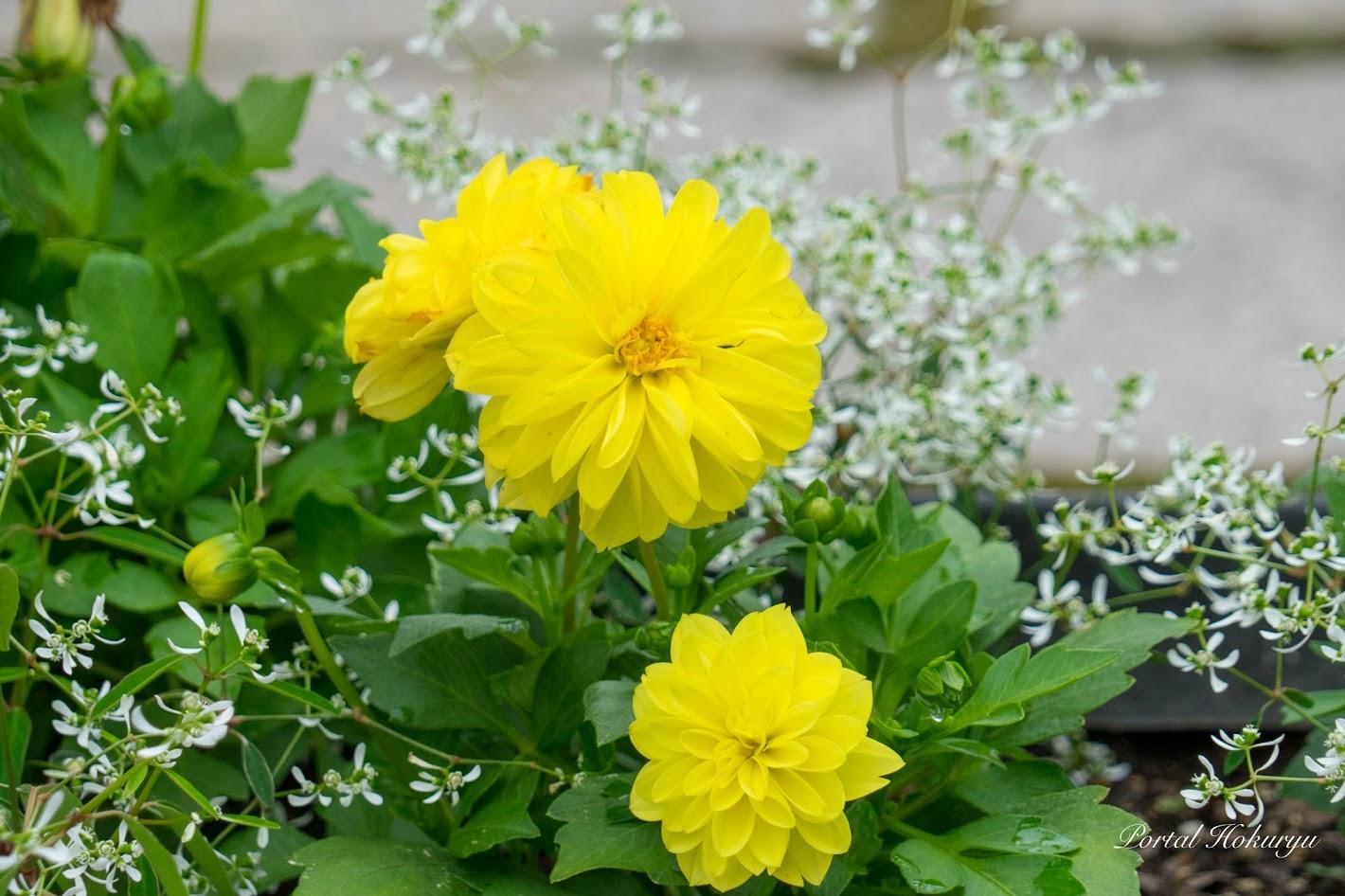 心躍る黄色い花