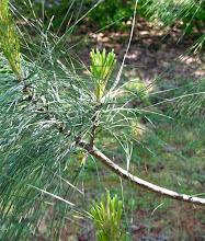 Photo: Varigated Pine