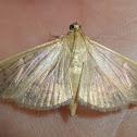 Pleuroptya moth