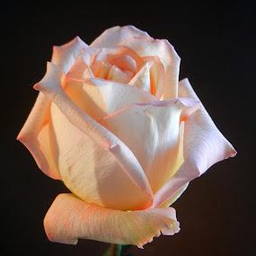 Glowing Rose by Kathy Rose Willis - Flowers Single Flower ( rose, peach, flower, black,  )