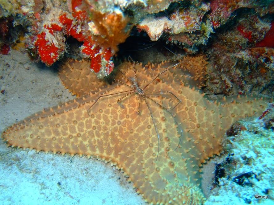 Oreaster reticulatus (Cushion Sea Star)