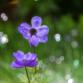 blue anemone by Mihai Bratu - Flowers Flower Gardens ( blue, natural, anemone, nature, bokeh, garden, flower, nature art )