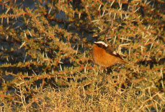 Photo: Codirosso algerino - Phoenicurus moussieri - Moussier's Redstart