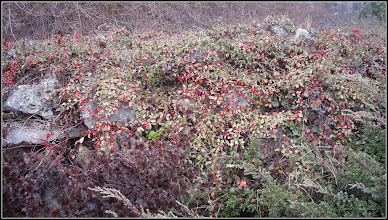 Photo: Gaultheria, Pernettya (Gaultheria spp) - din Piata 1 Decembrie 1918, spatiu verde - 2018.01.09