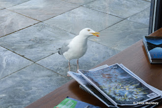 Photo: Visiting Gull, Craignure Bunkhouse, Mull
