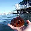 Warty Sea Cucumber