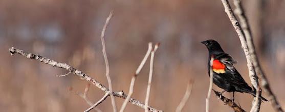 Photo: Redwing blackbird