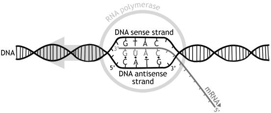 Un flux de travail simple de formation d'ARNm.
