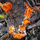 Flaming Orange Plaque Fungi