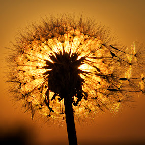 Dandelion Silhouette by Jim Crotty - Nature Up Close Other plants ( beavercreek township, macro, nature, dandelion, ohio, jim crotty, silhouette, late summer, peace, beauty, close-up, raptor ridge )