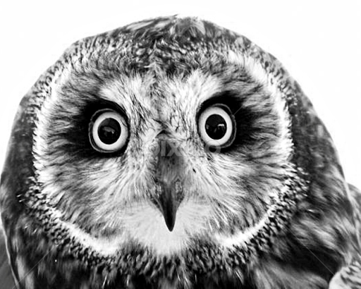 Owl Animals Black White Pixoto