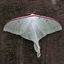 The Indian moon moth or Indian luna moth .