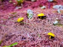 Funghetti gialli mignon