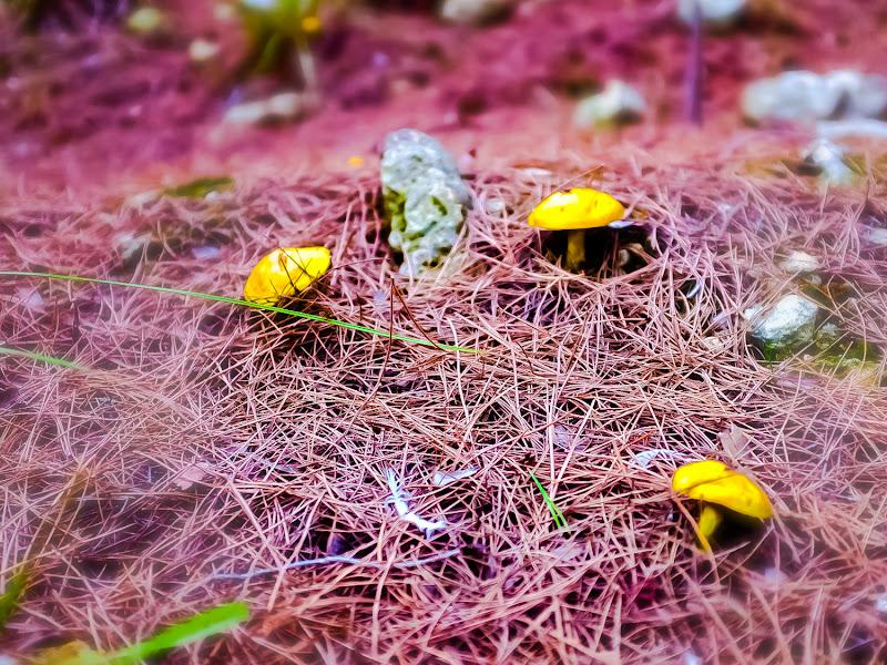 Funghetti gialli mignon di AngeloEsse