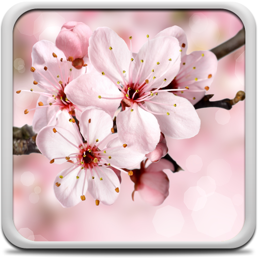 Cherry Blossom Live Wallapper Icon
