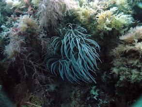 Photo: June 2003 - Nina Hukkanen - Snakelock anemone